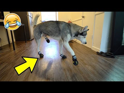 download Funny Husky Tries on Dog Shoes for the FIRST time ever!