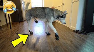 Funny Husky Tries on Dog Shoes for the FIRST time ever!
