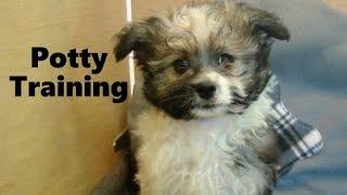 How To Potty Train An Ewokian Puppy - Havapom House Training Tips - Housebreaking Ewokian Puppies
