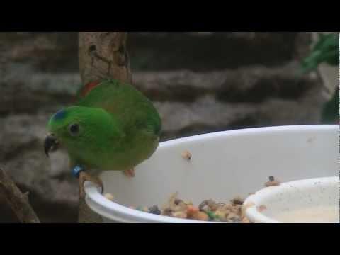 サトウチョウ / Blue-crowned Hanging Parrot