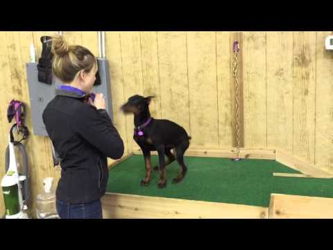 Beautiful Doberman Female 'Fauna' Obedience Trained Personal Protection Dog For Sale
