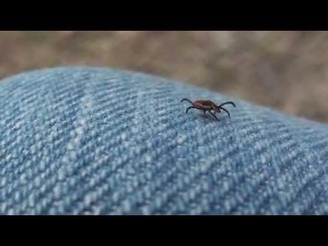 Female Black-legged Or Deer Tick (Ixodidae: Ixodes Scapularis)