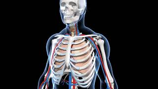 Science - 3D animation - Human Skeletal System Overview  (Junior) - Hindi