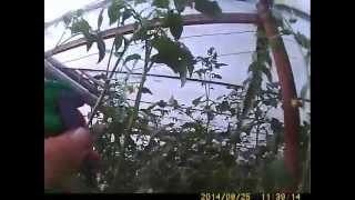 опыление томатов 25 августа(томаты мы опыляем препаратом 36с allegante 4,5% потому что другого нет но нас этот устраивает., 2014-08-25T08:46:55.000Z)