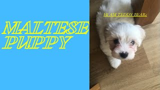MALTESE PUPPIES  (2nd day of teddy)