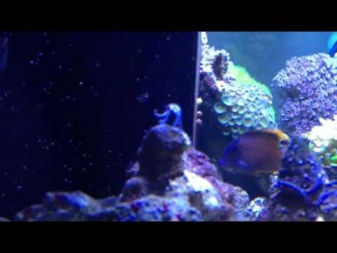 Mini Brittle Starfish Spawning