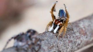 Peacock Spider 8 (Maratus linnaei)