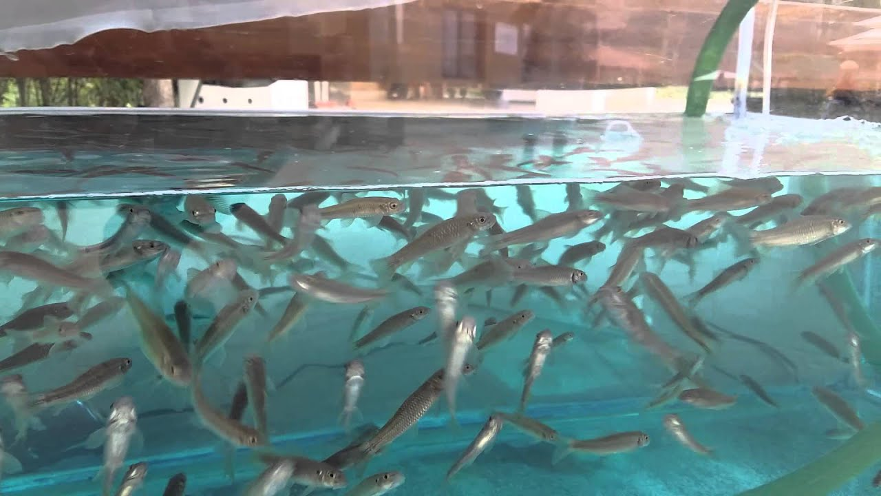 Medicinal fish pool youtube for Pool of fish