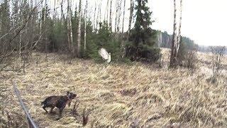 Охота на фазана с дратхааром