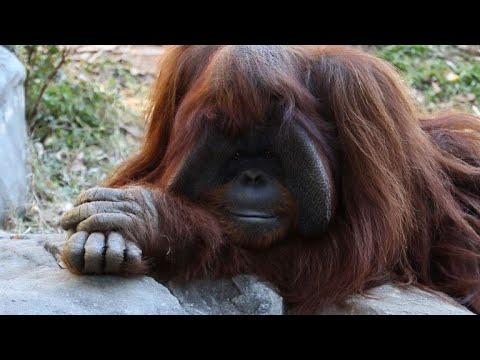 Sign language orangutan dead at 39