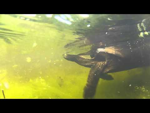 Swimming Aldabra tortoise