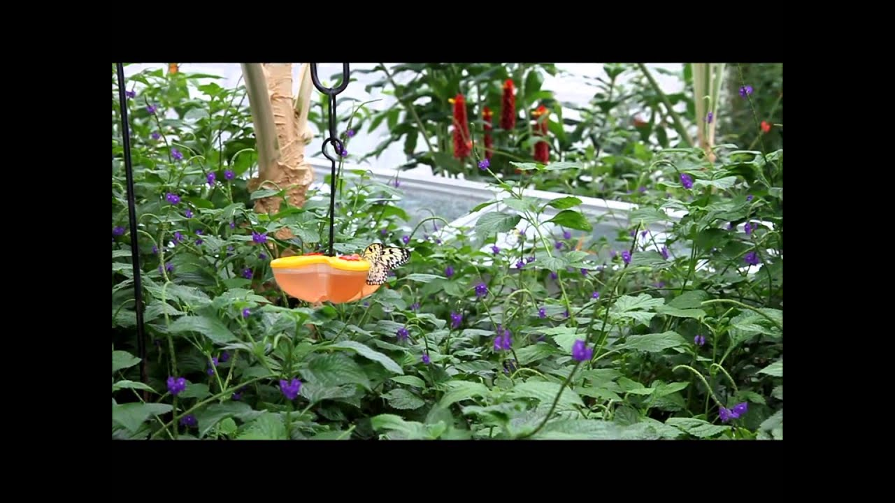 copy of butterfly conservatory niagara falls youtube. Black Bedroom Furniture Sets. Home Design Ideas