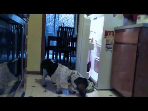 Hungry Basset Hound Raids Fridge