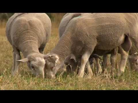 Sheep genetics: Wiping out worms (episode 9)