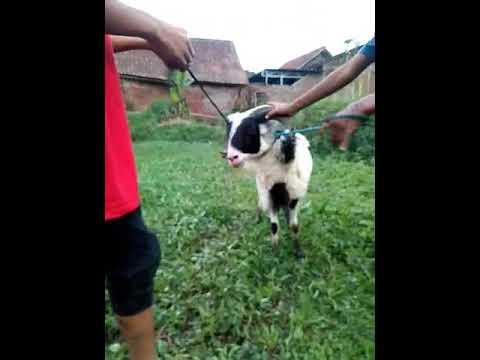 Anak ngentot domba parah
