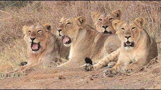 The Lions of Mikumi(Hawa ndio Simba wa Mikumi).