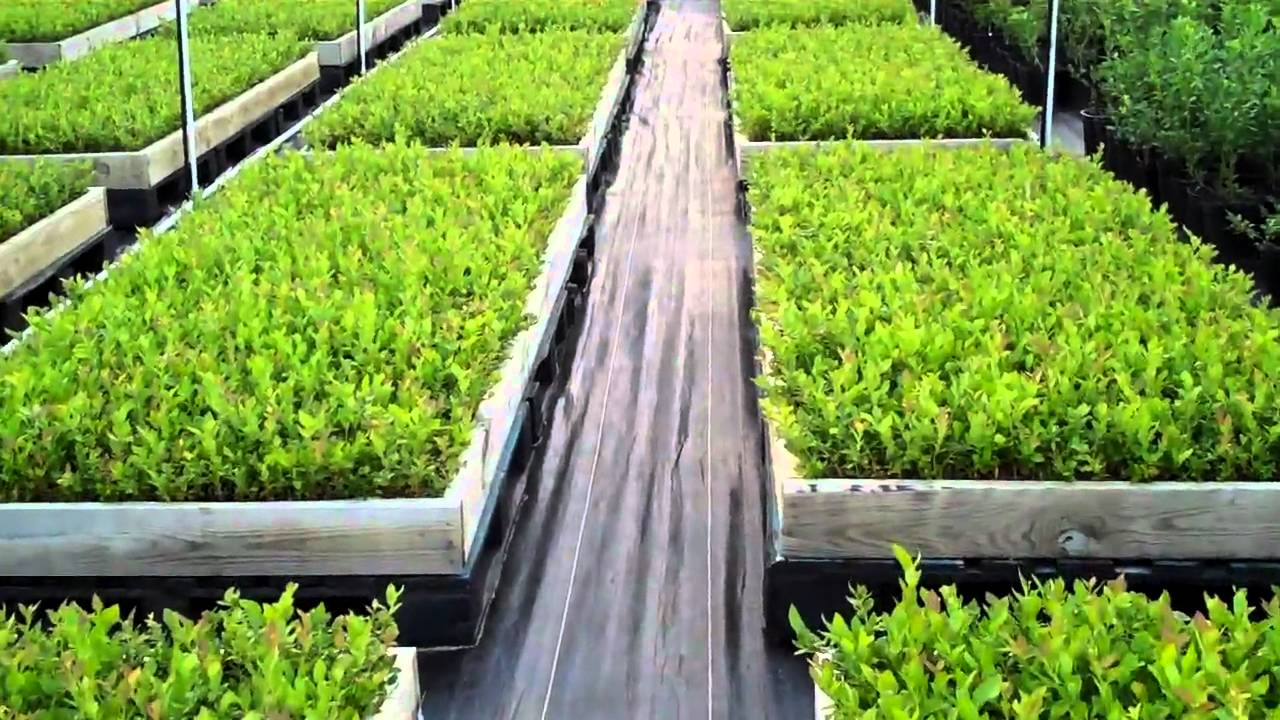blueberry plants starters