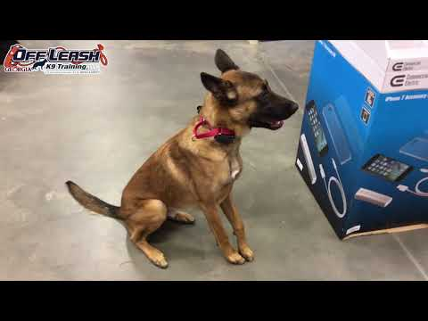"1 Year Old Belgian Malinois ""Sparta"" Before/After Video 