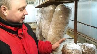 Грибы на картонном субстрате (Mushrooms on a cardboard substrate)(наш сайт: http://sgrib.ru (cultivation and sale of oyster mushrooms) Как выращивать грибы на картонном субстрате how to grow mushrooms on a cardboard..., 2015-03-06T05:46:02.000Z)