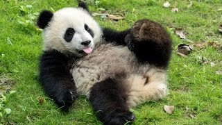 VOLUNTEERING WITH GIANT PANDAS IN CHINA
