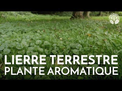 Le lierre terrestre, délicieuse plante aromatique