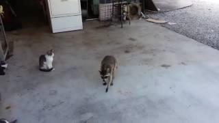 Енот крадёт корм у кота