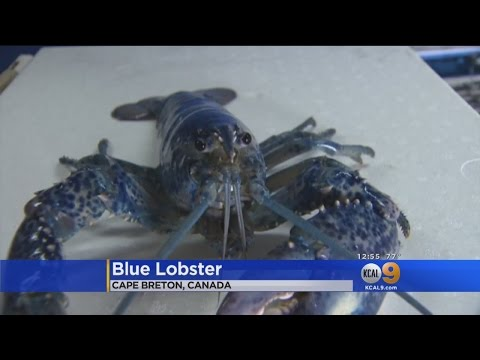 Canadian Fisherman Nabs Rare Blue Lobster, Plans To Return It To The Sea