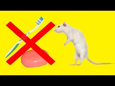 Зачем мучить крысу  Как безболезненно помыть хвост крысе