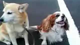 Pogy The Cavalier King Charles Spaniel And Chiko The Shiba-inu.