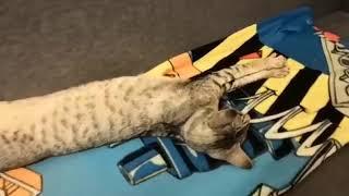 приключения ориентального кота 4серия гостю указали где спать