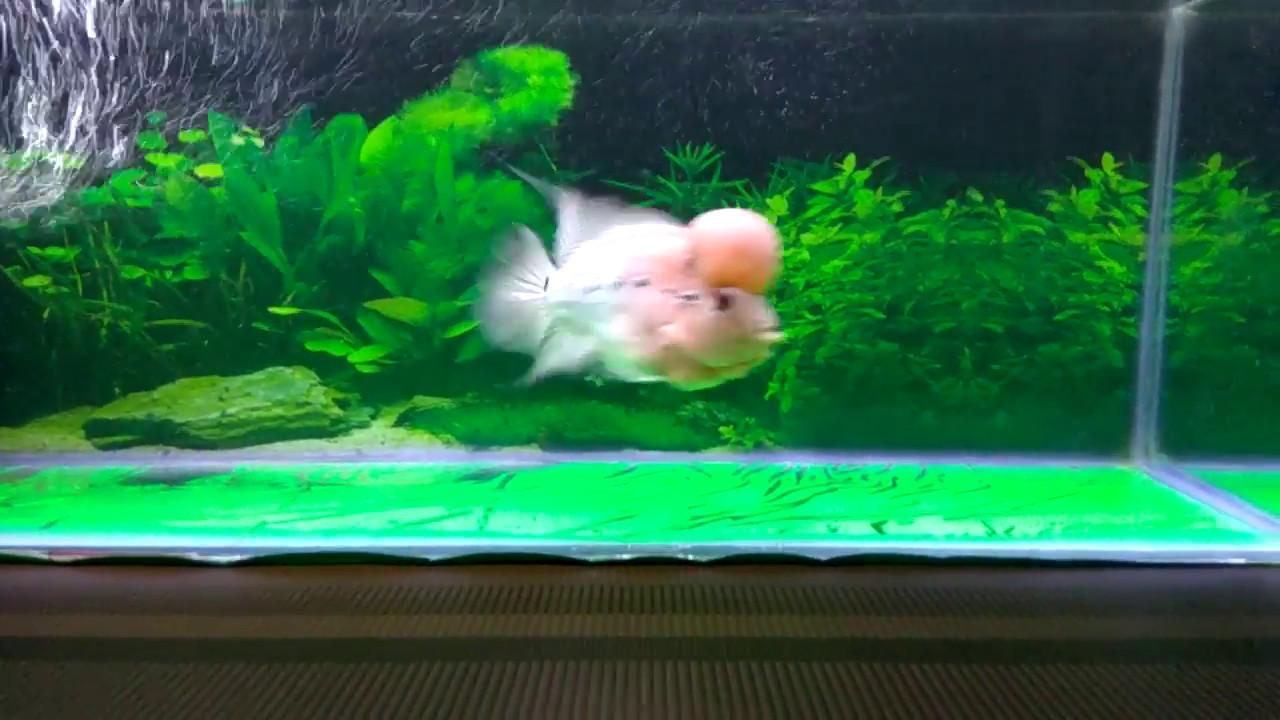 Flowerhorn fish4 youtube flowerhorn fish4 nvjuhfo Gallery