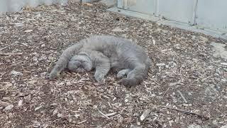Shinobi laying back in the new yard