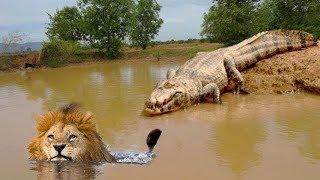 リバーサイドでワニ待ち伏せライオン狩りと予期せぬ結果 Lion vs Crocod...
