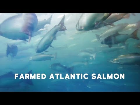 RSPCA Approved Farming: farmed Atlantic salmon