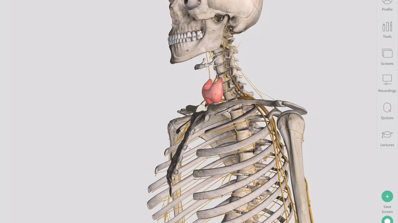 The Thyroid Gland | Complete Anatomy - YouTube