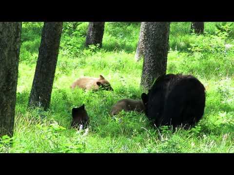 Bear encounter at Yellowstone