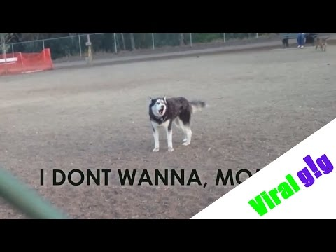 Husky Dog Refuses to Leave Park