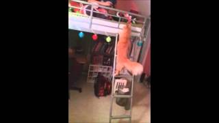 My Cat Ramsey Climbing Stairs To Loft Bed
