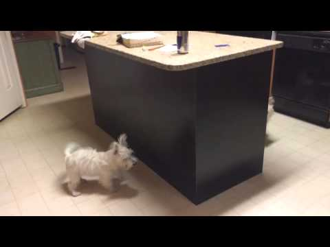 WESTIES playing hide and seek West Highland White Terriers playing chase