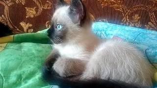 Обзор на котёнка сиамской породы 2