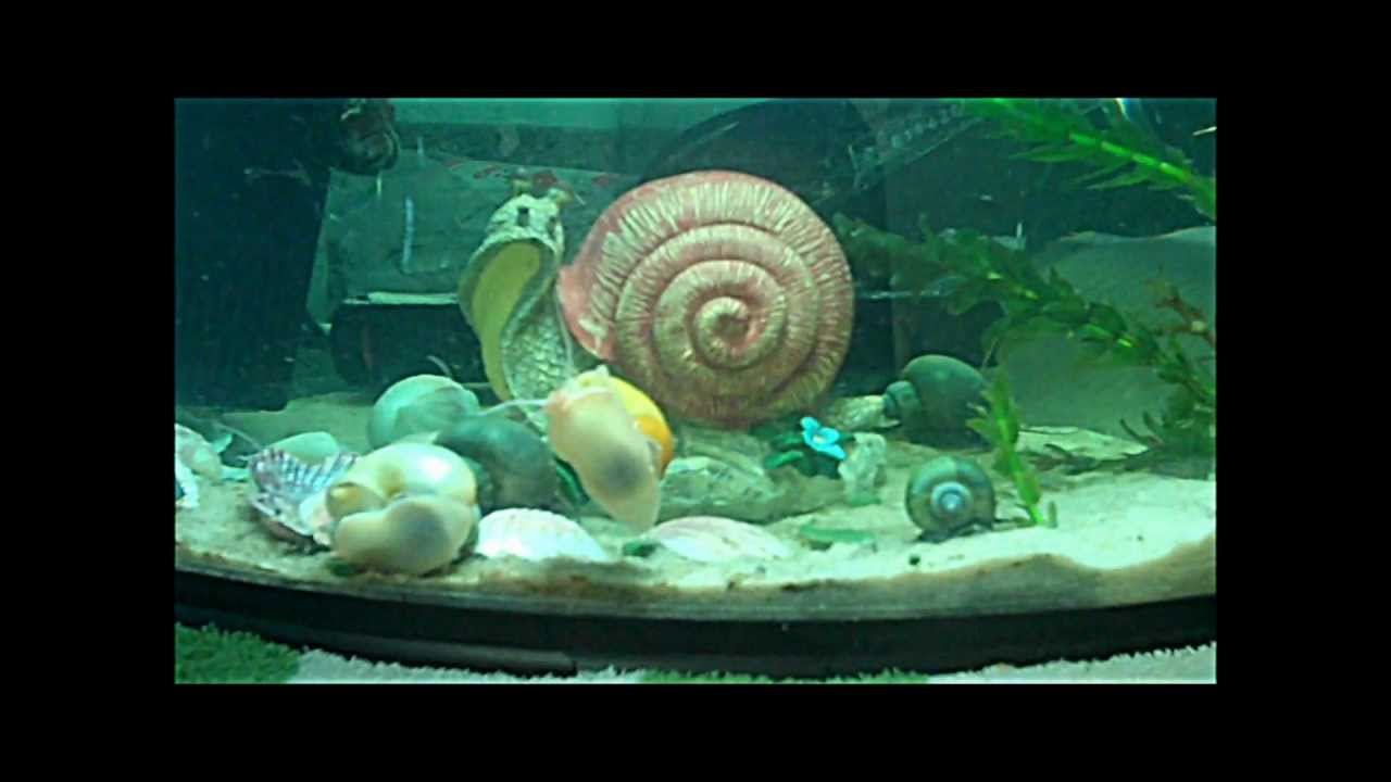 How snails breed in an aquarium 76