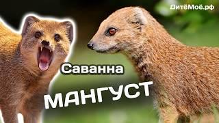 Мангуст. Энциклопедия для детей про животных. Саванна