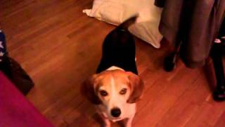 This Is What A Spoiled Beagle Dog Sounds Like!