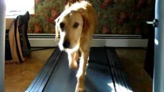 Golden Retriever Irish Terrier Mix On The Treadmill.avi