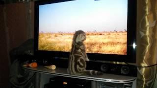 Котик смотрит телевизор