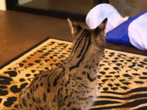 F1 Savannah Cat Mishka Playing & Jumping in San Diego