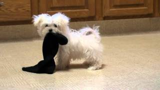 Maltese Puppy Playing    Www.sonshineacres.com   402-994-5505