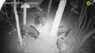 Wesoła gromadka dzików w karmisku dla zwierząt w lesie na Podkarpaciu
