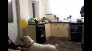 Dogs having fun with helium balloon