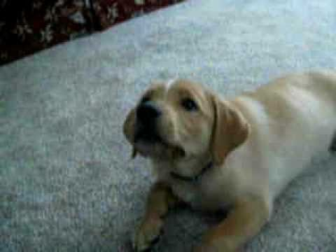 Golden Retriever Labrador Mix Puppy